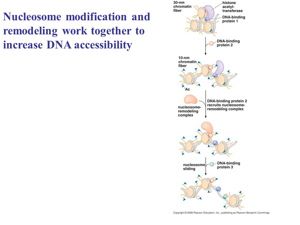 Nucleosome modification and remodeling work together to increase DNA accessibility