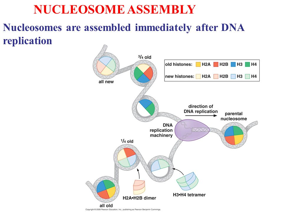 NUCLEOSOME ASSEMBLY Nucleosomes are assembled immediately after DNA replication