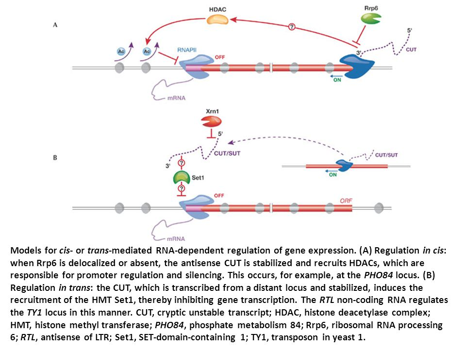 Models for cis- or trans-mediated RNA-dependent regulation of gene expression. (A) Regulation in cis: when Rrp6 is delocalized or absent, the antisens