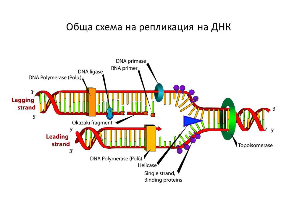 Обща схема на репликация на ДНК