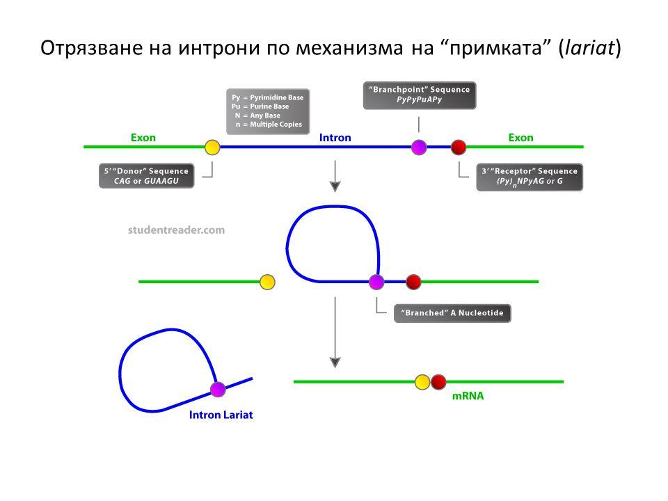 Отрязване на интрони по механизма на примката (lariat)