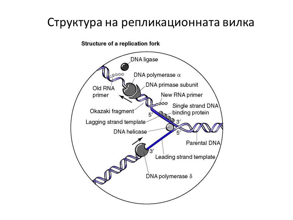 Структура на репликационната вилка