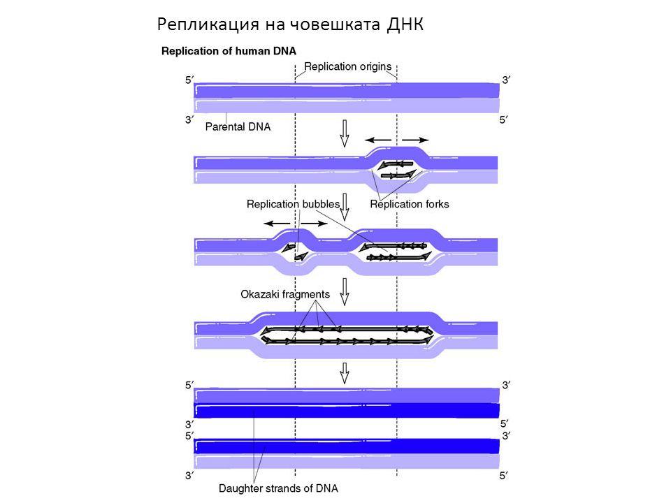 Репликация на човешката ДНК