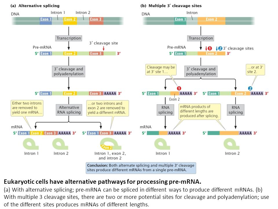 Eukaryotic cells have alternative pathways for processing pre-mRNA. (a) With alternative splicing; pre-mRNA can be spliced in different ways to produc