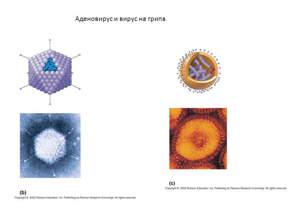 Аденовирус и вирус на грипа