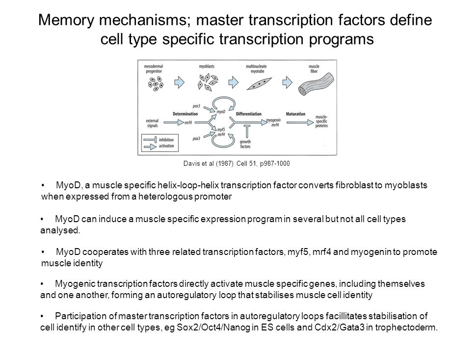 Memory mechanisms; master transcription factors define cell type specific transcription programs Davis et al (1987) Cell 51, p987-1000 MyoD, a muscle specific helix-loop-helix transcription factor converts fibroblast to myoblasts when expressed from a heterologous promoter MyoD cooperates with three related transcription factors, myf5, mrf4 and myogenin to promote muscle identity Myogenic transcription factors directly activate muscle specific genes, including themselves and one another, forming an autoregulatory loop that stabilises muscle cell identity Participation of master transcription factors in autoregulatory loops facillitates stabilisation of cell identify in other cell types, eg Sox2/Oct4/Nanog in ES cells and Cdx2/Gata3 in trophectoderm.