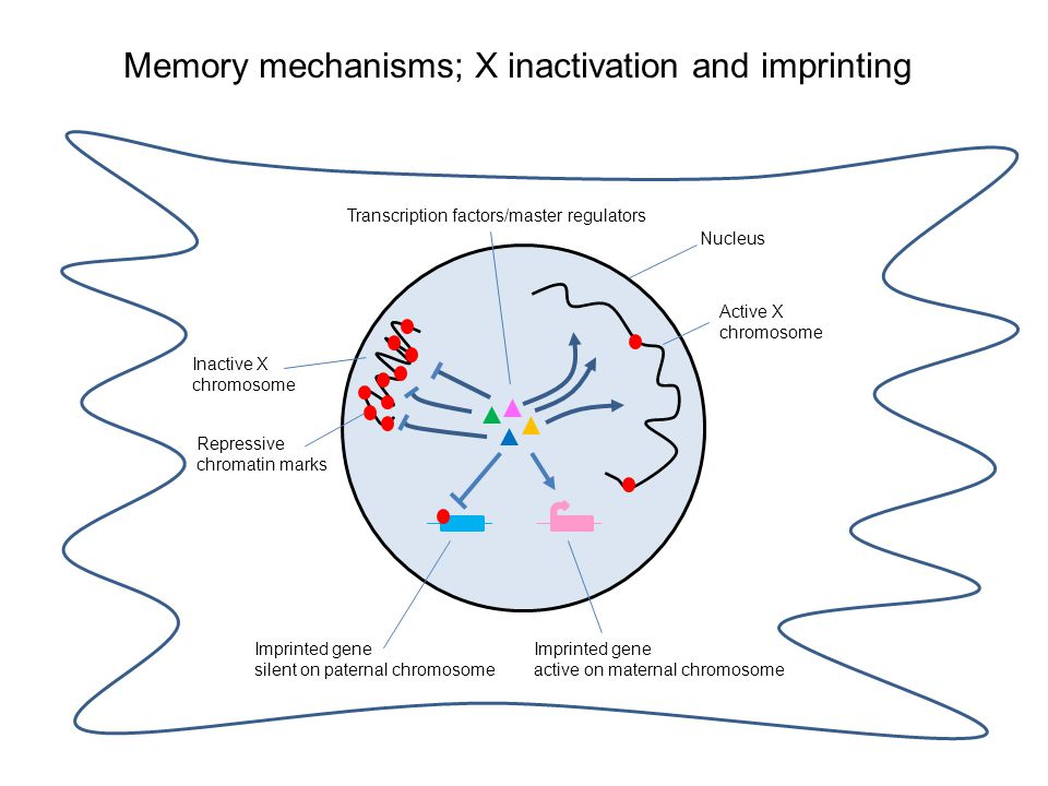 Memory mechanisms; X inactivation and imprinting Inactive X chromosome Repressive chromatin marks Active X chromosome Imprinted gene silent on paternal chromosome Imprinted gene active on maternal chromosome Transcription factors/master regulators Nucleus