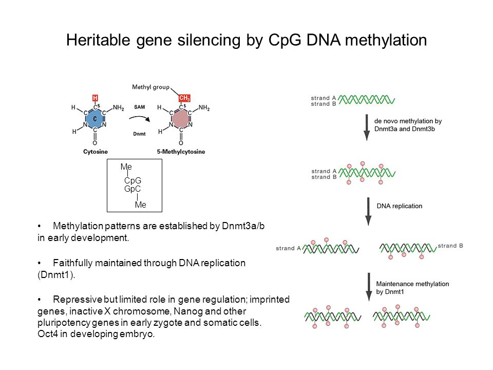 Heritable gene silencing by CpG DNA methylation Methylation patterns are established by Dnmt3a/b in early development.
