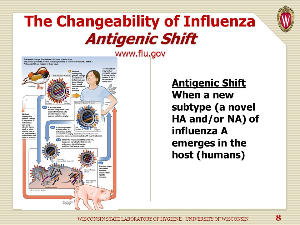 Antigenic Shift www.flu.gov The Changeability of Influenza Antigenic Shift www.flu.gov Antigenic Shift When a new subtype (a novel HA and/or NA) of influenza A emerges in the host (humans) WISCONSIN STATE LABORATORY OF HYGIENE - UNIVERSITY OF WISCONSIN 8