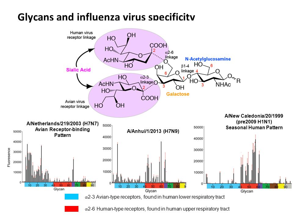 Glycans and influenza virus specificity  2-3 Avian-type receptors, found in human lower respiratory tract  2-6 Human-type receptors, found in human upper respiratory tract A/Netherlands/219/2003 (H7N7) Avian Receptor-binding Pattern A/Anhui/1/2013 (H7N9) A/New Caledonia/20/1999 (pre2009 H1N1) Seasonal Human Pattern
