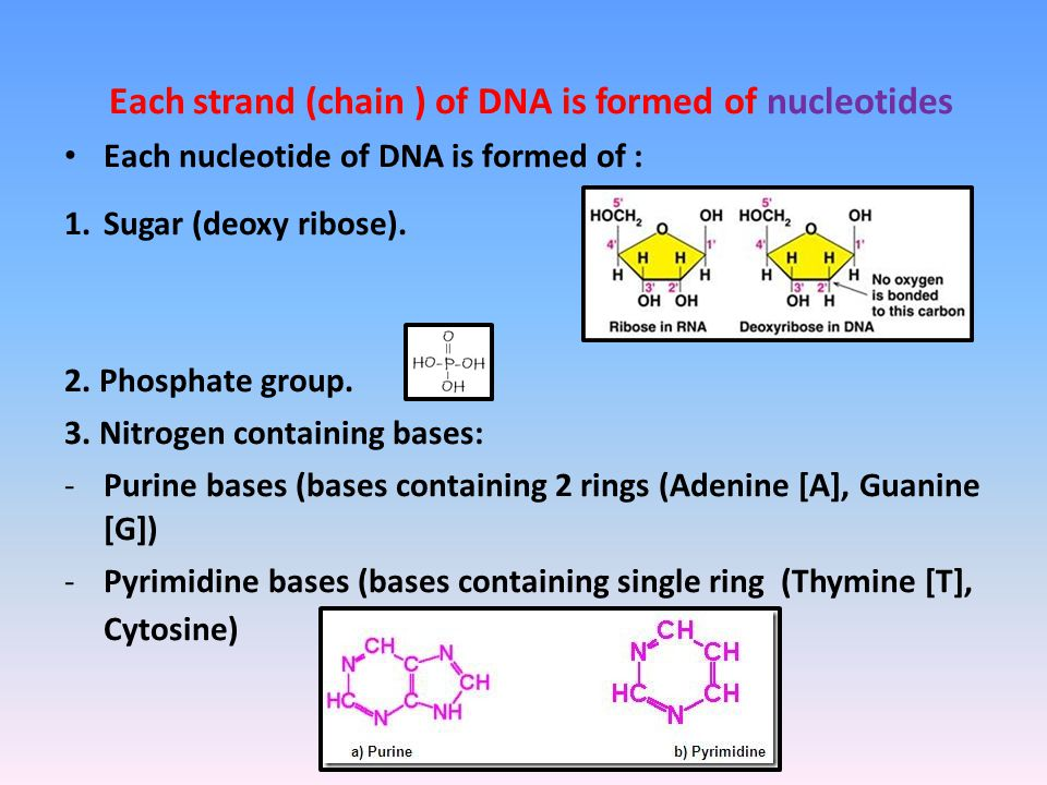 Each strand (chain ) of DNA is formed of nucleotides Each nucleotide of DNA is formed of : 1.Sugar (deoxy ribose).