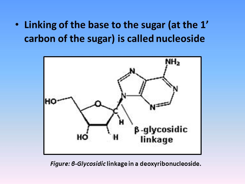 Linking of the base to the sugar (at the 1' carbon of the sugar) is called nucleoside Figure: β-Glycosidic linkage in a deoxyribonucleoside.