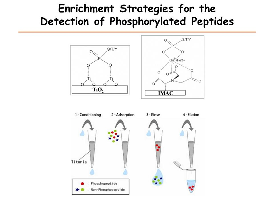 Hydrophilic Interaction Chromatography (HILIC) Phosphopeptides elute later than their unphosphorylated counterparts Stationary phase is hydrophilic Mobile phase is hydrophobic Unphosphorylated single phosphorylation multiple phosphorylation