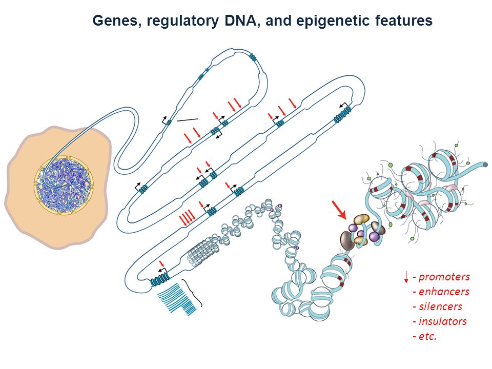 Genes, regulatory DNA, and epigenetic features - promoters - enhancers - silencers - insulators - etc.