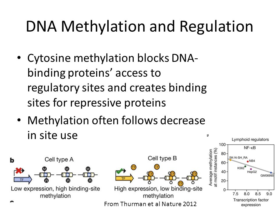 DNA Methylation and Regulation Cytosine methylation blocks DNA- binding proteins' access to regulatory sites and creates binding sites for repressive proteins Methylation often follows decrease in site use From Thurman et al Nature 2012