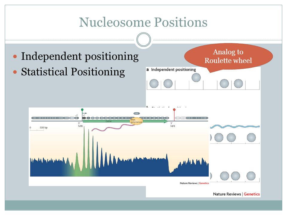 Nucleosome Positions Independent positioning Statistical Positioning Analog to Roulette wheel