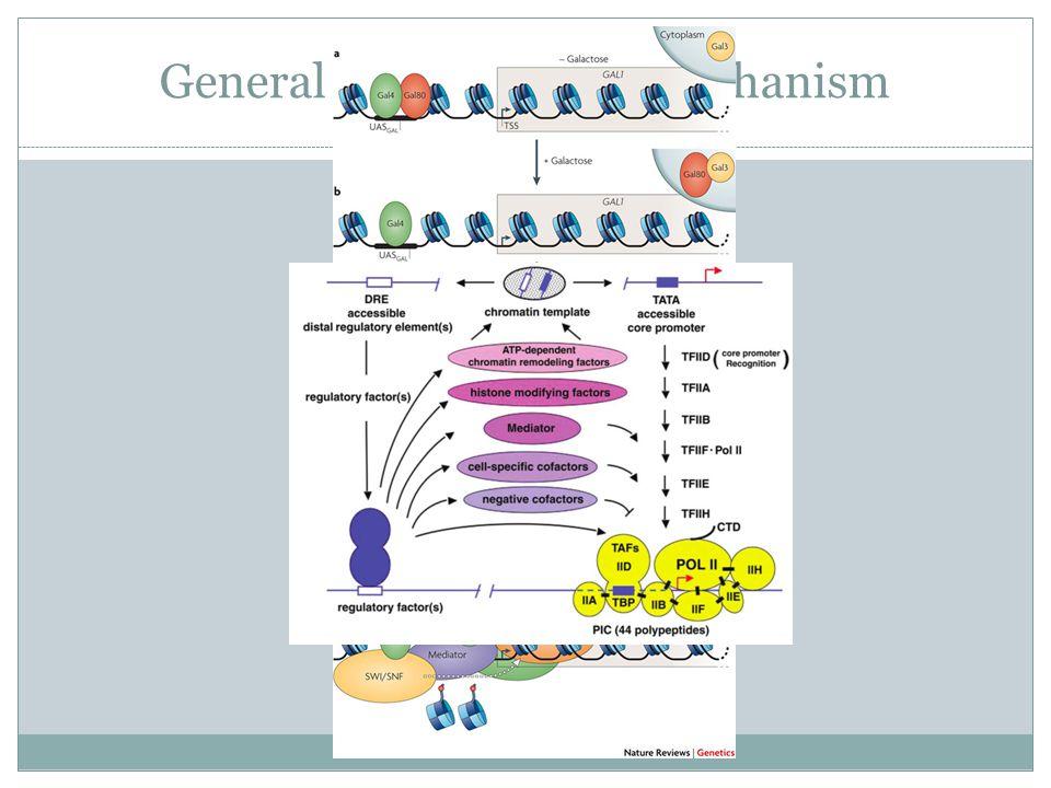 General Transcription Mechanism
