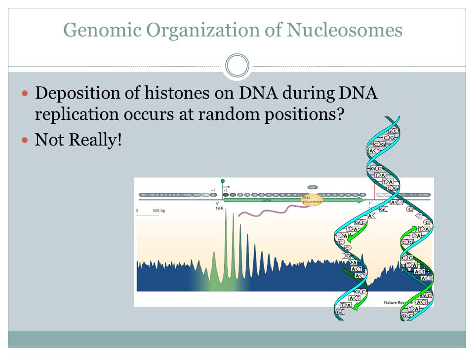 Genomic Organization of Nucleosomes Deposition of histones on DNA during DNA replication occurs at random positions.