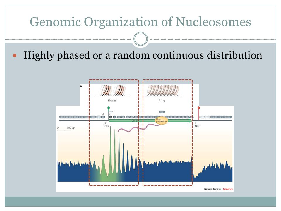 Genomic Organization of Nucleosomes Highly phased or a random continuous distribution