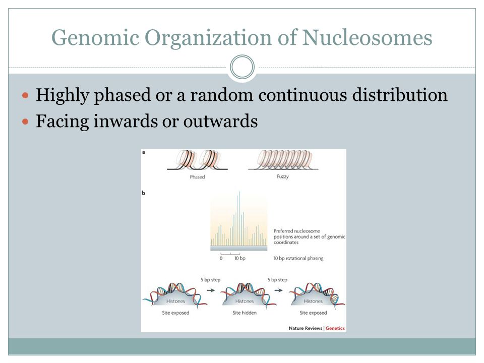 Genomic Organization of Nucleosomes Highly phased or a random continuous distribution Facing inwards or outwards