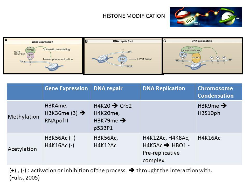 Gene ExpressionDNA repairDNA ReplicationChromosome Condensation Methylation H3K4me, H3K36me (3)  RNApol II H4K20  Crb2 H4K20me, H3K79me  p53BP1 H3K9me  H3S10ph Acetylation H3K56Ac (+) H4K16Ac (-) H3K56Ac, H4K12Ac H4K12Ac, H4K8Ac, H4K5Ac  HBO1 - Pre-replicative complex H4K16Ac (+), (-) : activation or inhibition of the process.