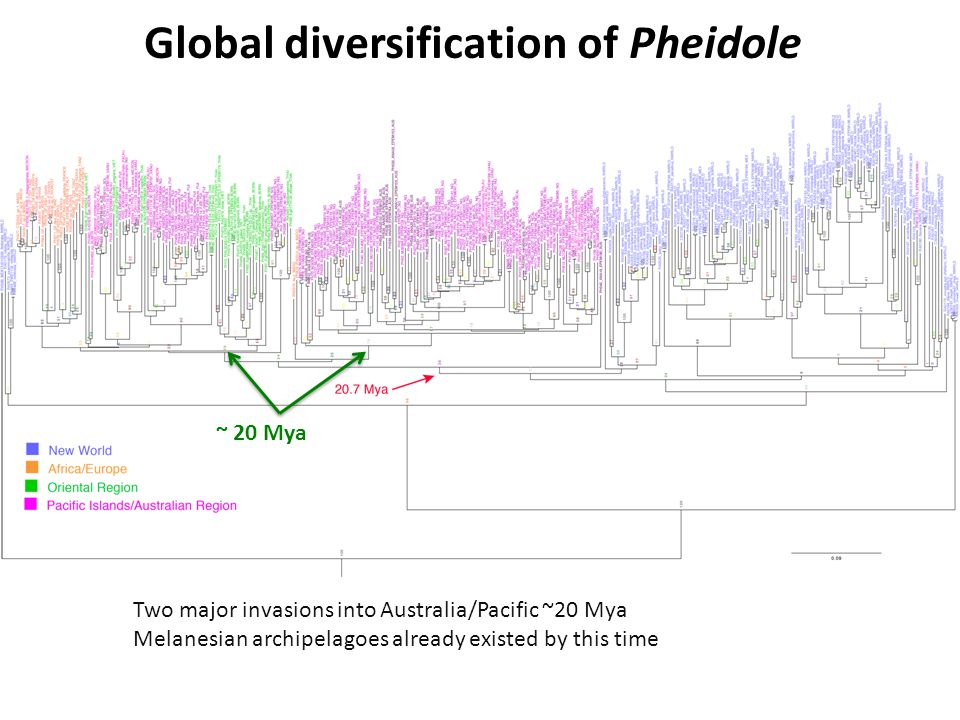 Global diversification of Pheidole ~ 20 Mya Two major invasions into Australia/Pacific ~20 Mya Melanesian archipelagoes already existed by this time