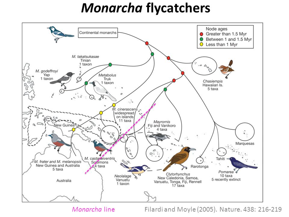 Monarcha flycatchers x Monarcha lineFilardi and Moyle (2005). Nature. 438: 216-219