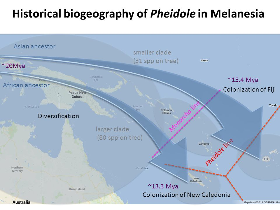 Historical biogeography of Pheidole in Melanesia Tree pruned to include only the target region Diversification Colonization of Fiji Asian ancestor African ancestor ~20Mya ~15.4 Mya ~13.3 Mya Colonization of New Caledonia Monarcha line Pheidole line larger clade (80 spp on tree) smaller clade (31 spp on tree)