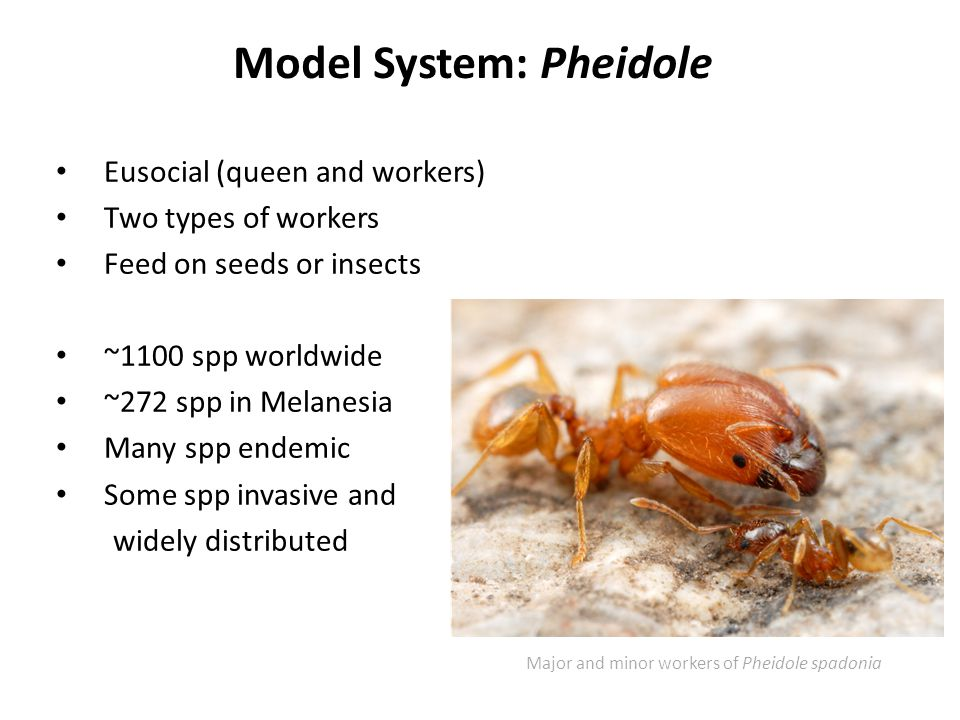 Model System: Pheidole Eusocial (queen and workers) Two types of workers Feed on seeds or insects ~1100 spp worldwide ~272 spp in Melanesia Many spp endemic Some spp invasive and widely distributed Major and minor workers of Pheidole spadonia