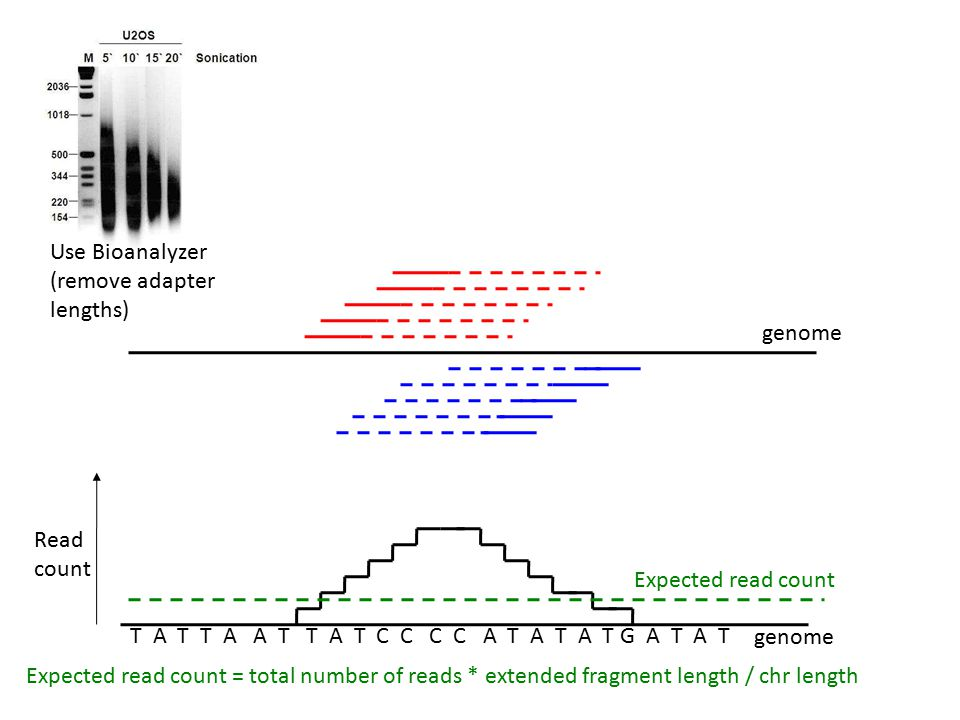 Read count genome Expected read count Expected read count = total number of reads * extended fragment length / chr length genome T A T T A A T T A T C