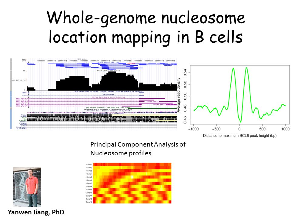 Whole-genome nucleosome location mapping in B cells Yanwen Jiang, PhD Principal Component Analysis of Nucleosome profiles