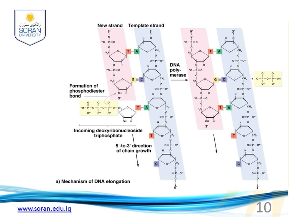 www.soran.edu.iq Fig. 3.4a DNA chain elongation catalyzed by DNA polymerase 10