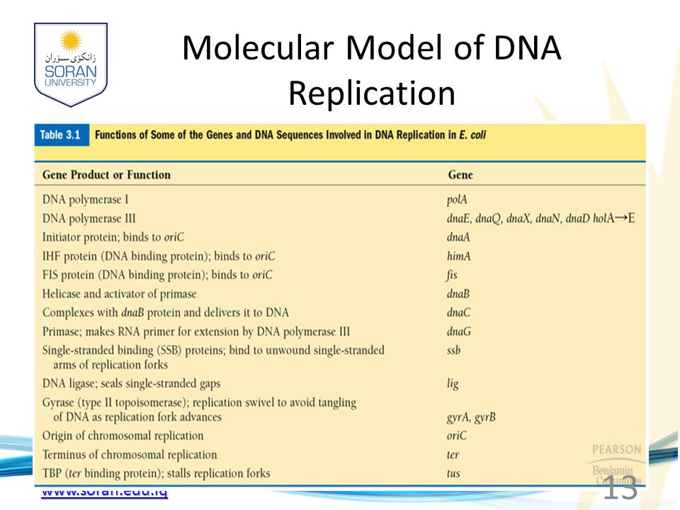 www.soran.edu.iq Molecular Model of DNA Replication 13