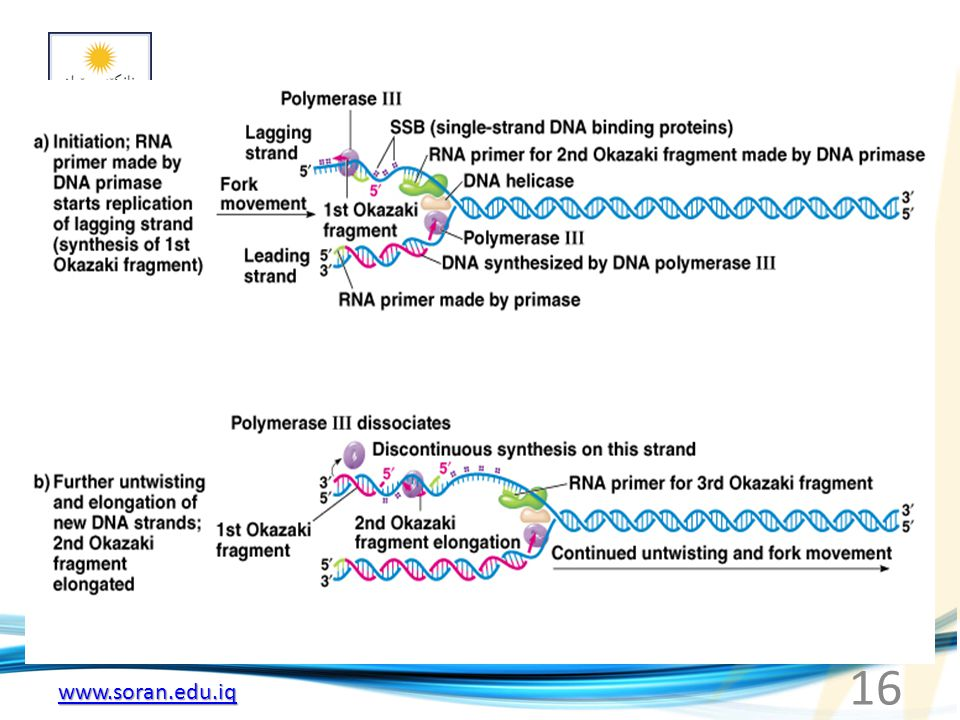www.soran.edu.iq Fig. 3.6a, b Model for the events occurring around a single replication fork of the E. coli chromosome 16