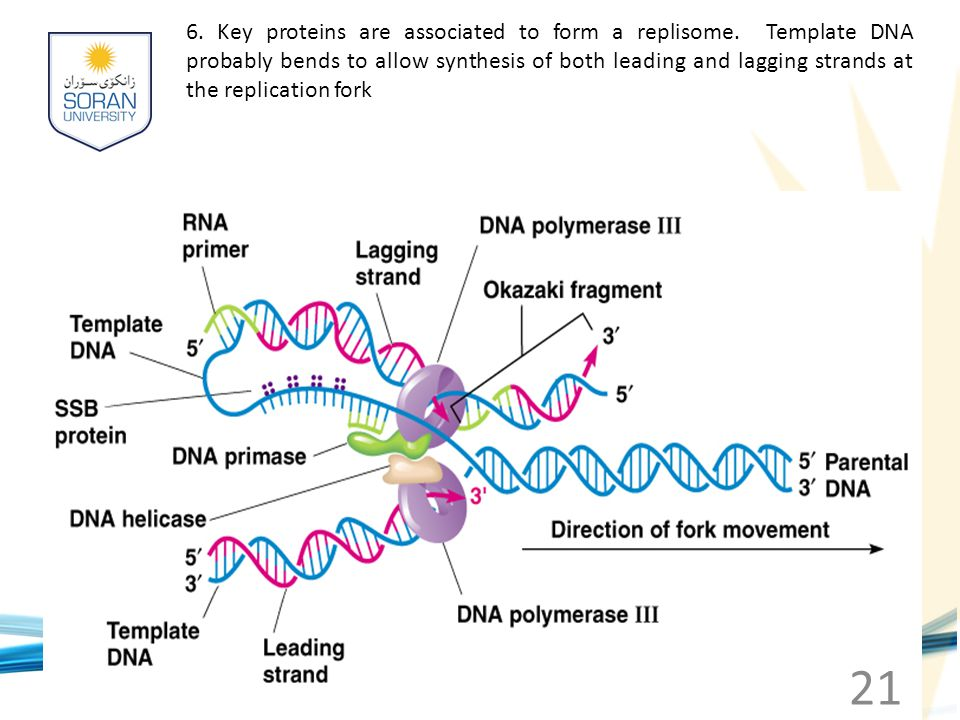 www.soran.edu.iq 6. Key proteins are associated to form a replisome. Template DNA probably bends to allow synthesis of both leading and lagging strand