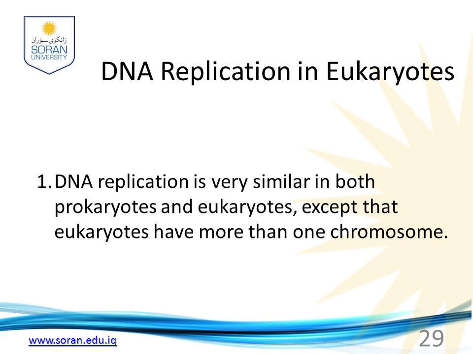 www.soran.edu.iq DNA Replication in Eukaryotes 1.DNA replication is very similar in both prokaryotes and eukaryotes, except that eukaryotes have more than one chromosome.
