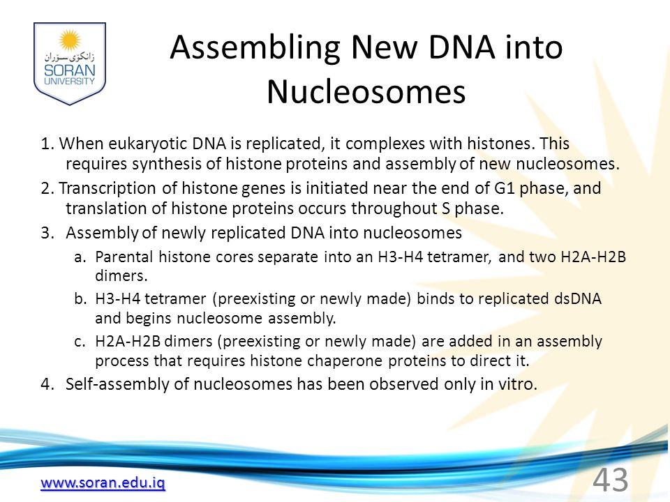 www.soran.edu.iq Assembling New DNA into Nucleosomes 1. When eukaryotic DNA is replicated, it complexes with histones. This requires synthesis of hist