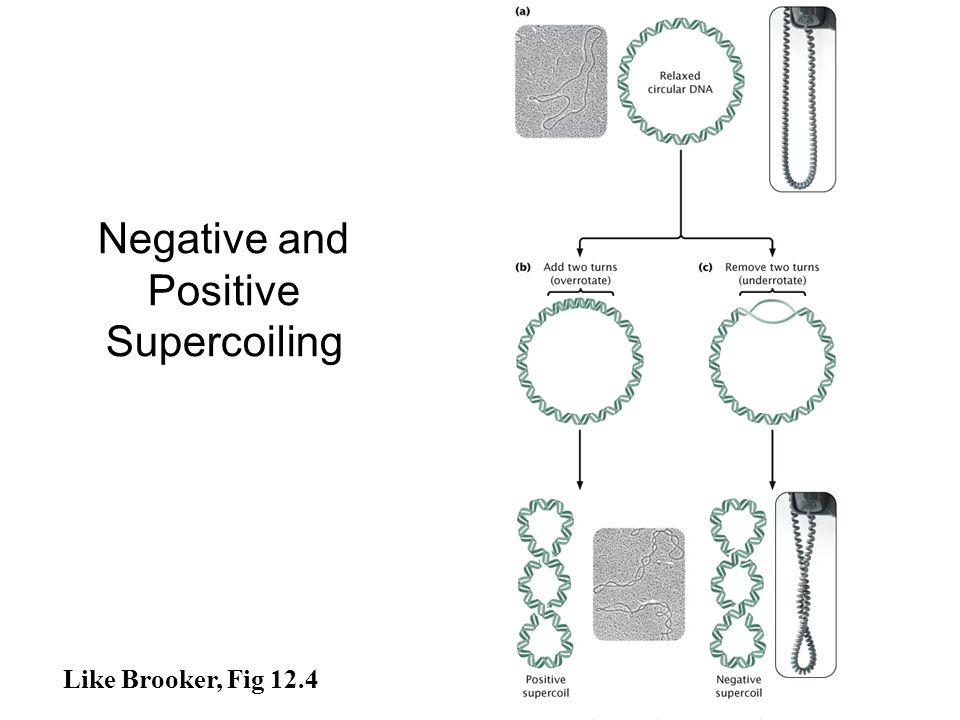 Like Brooker, Fig 12.4 Negative and Positive Supercoiling