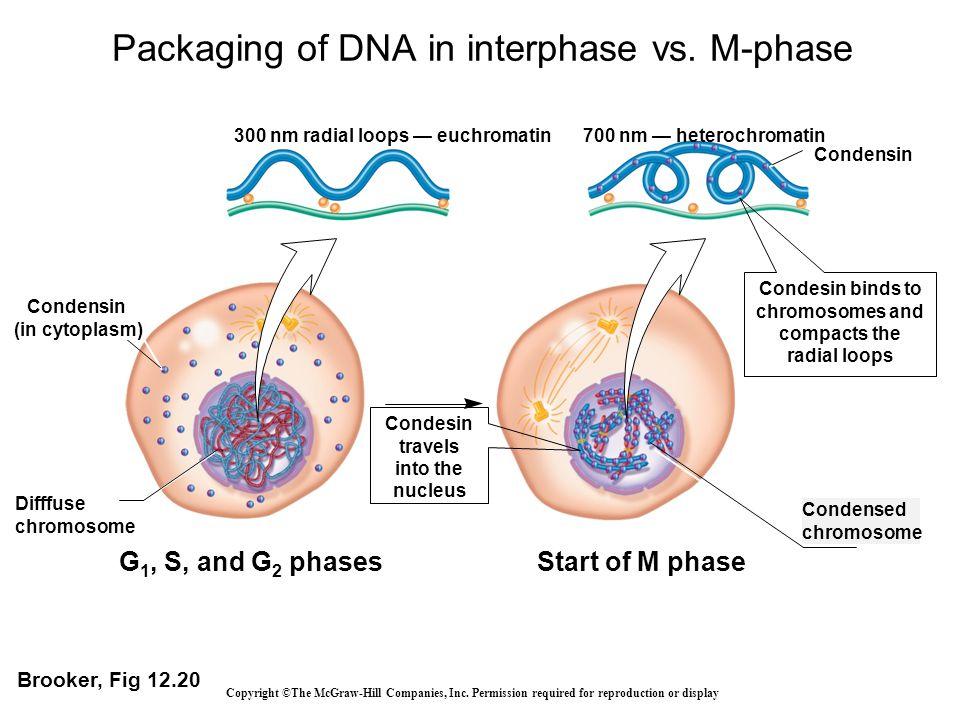 Condensin Difffuse chromosome G 1, S, and G 2 phases Condensed chromosome Start of M phase 300 nm radial loops — euchromatin700 nm — heterochromatin C