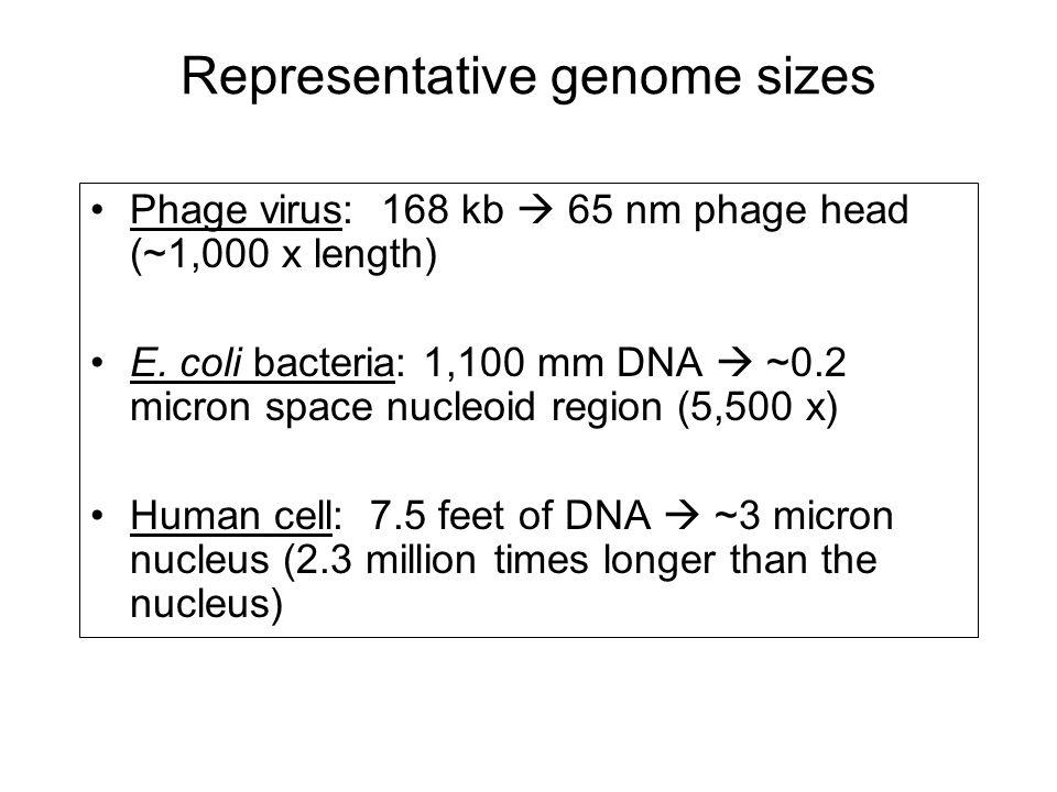 Phage virus: 168 kb  65 nm phage head (~1,000 x length) E. coli bacteria: 1,100 mm DNA  ~0.2 micron space nucleoid region (5,500 x) Human cell: 7.5