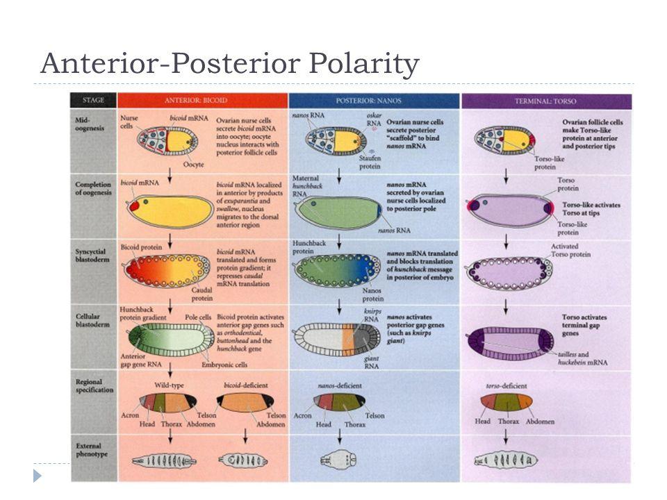 Anterior-Posterior Polarity