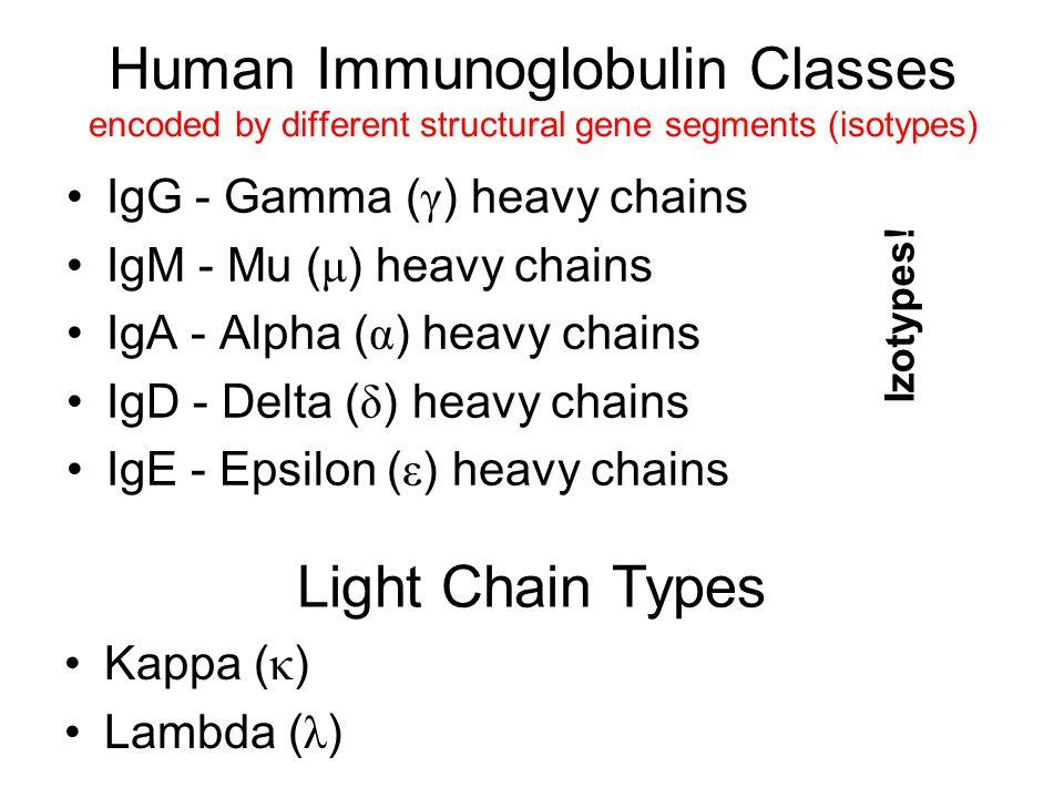 Human Immunoglobulin Classes encoded by different structural gene segments (isotypes) IgG - Gamma ( γ ) heavy chains IgM - Mu ( μ ) heavy chains IgA -