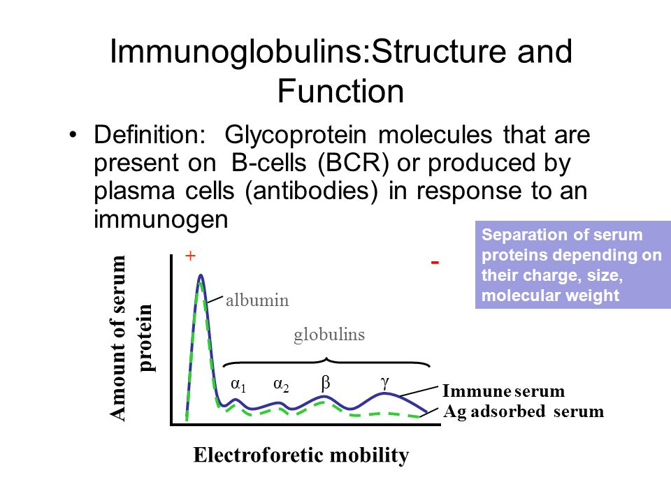 Definition: Glycoprotein molecules that are present on B-cells (BCR) or produced by plasma cells (antibodies) in response to an immunogen Immune serum Ag adsorbed serum α1α1 α2α2 β γ + - albumin globulins Electroforetic mobility Amount of serum protein Separation of serum proteins depending on their charge, size, molecular weight