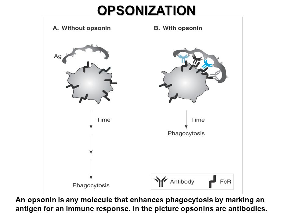 OPSONIZATION An opsonin is any molecule that enhances phagocytosis by marking an antigen for an immune response.