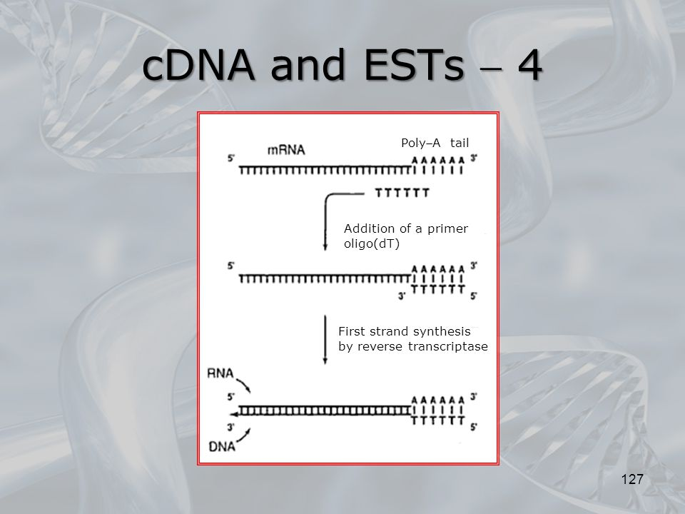 127 cDNA and ESTs  4 Addition of a primer oligo(dT) First strand synthesis by reverse transcriptase PolyA tail