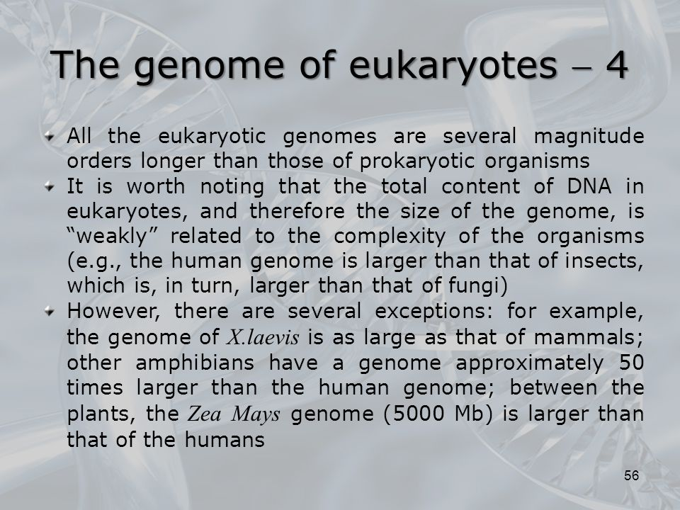 All the eukaryotic genomes are several magnitude orders longer than those of prokaryotic organisms It is worth noting that the total content of DNA in