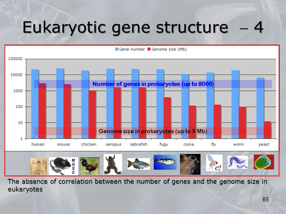 65 Number of genes in prokaryotes (up to 8000) Genome size in prokaryotes (up to 9 Mb) The absence of correlation between the number of genes and the