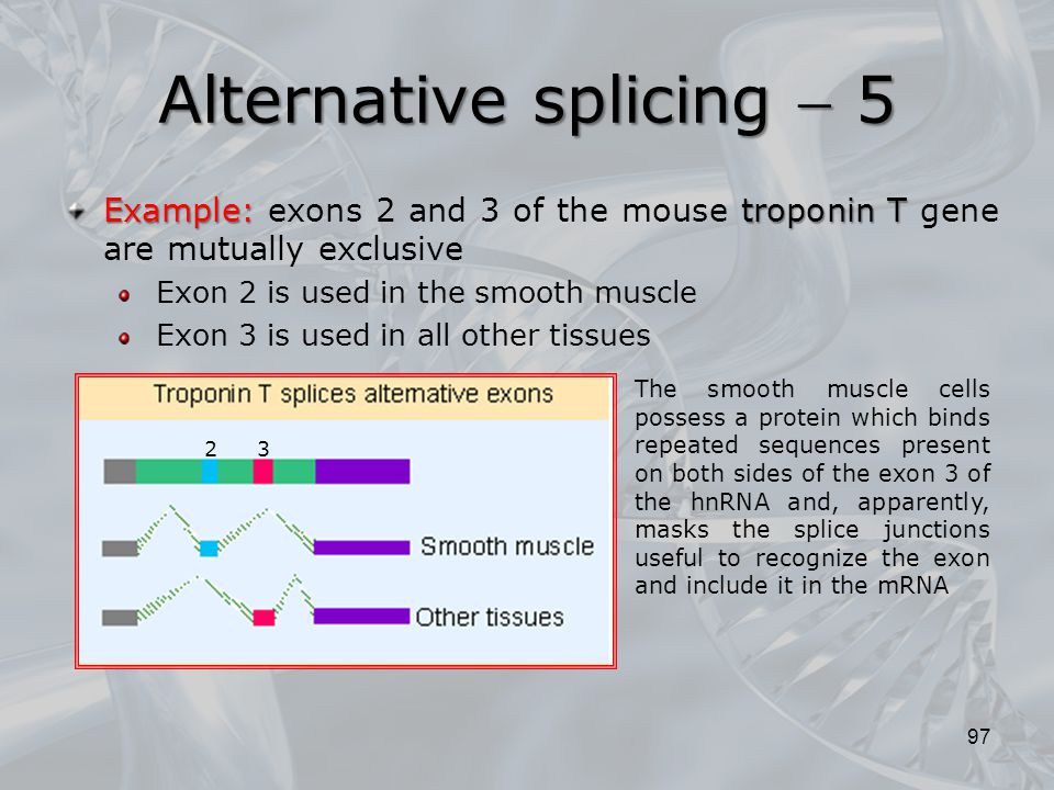 97 Example: troponin T Example: exons 2 and 3 of the mouse troponin T gene are mutually exclusive Exon 2 is used in the smooth muscle Exon 3 is used i