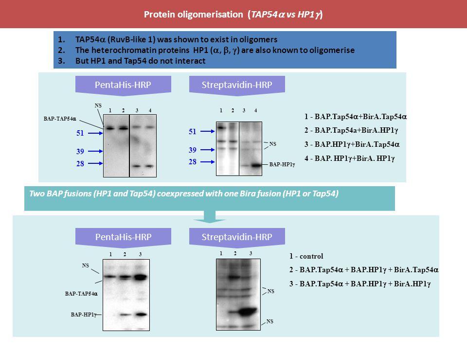 PentaHis-HRPStreptavidin-HRP Protein oligomerisation (TAP54  vs HP1  ) 51 28 39 BAP-TAP54  12341234 NS BAP-HP1  NS 1 - BAP.Tap54  +BirA.Tap54  2