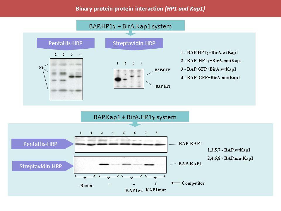 PentaHis-HRPStreptavidin-HRP Binary protein-protein interaction (HP1 and Kap1) PentaHis-HRP Streptavidin-HRP BAP-HP1 BAP-GFP 1234 NS 1234 1 - BAP.HP1